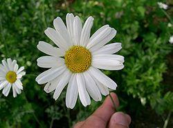 250pxtanacetum_cinerariifolium1